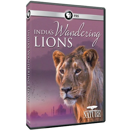NATURE: India's Wandering Lions DVD
